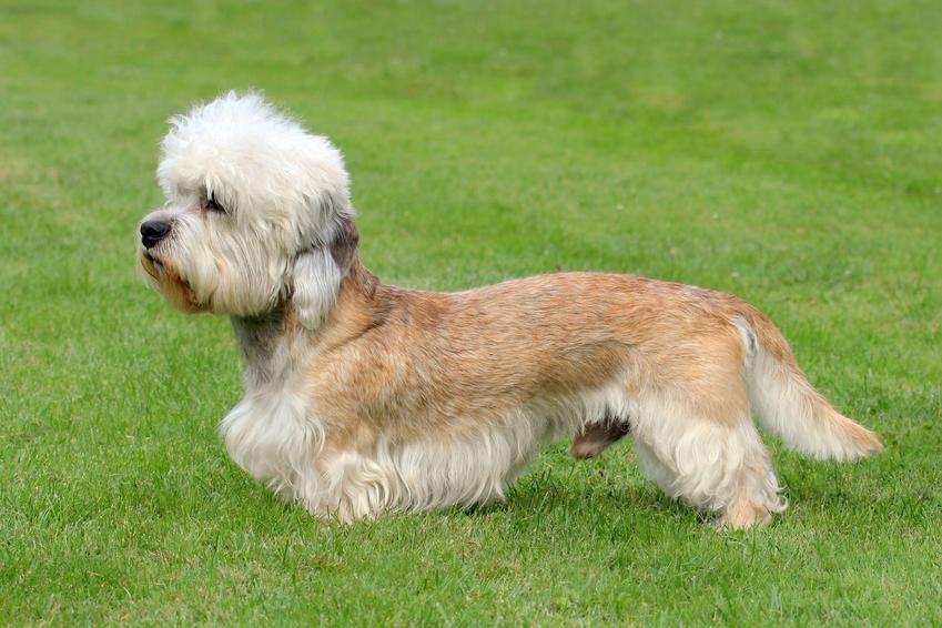 Pies rasy dandie dinmont terrier na trawniku, a także jego charakter i hodowla