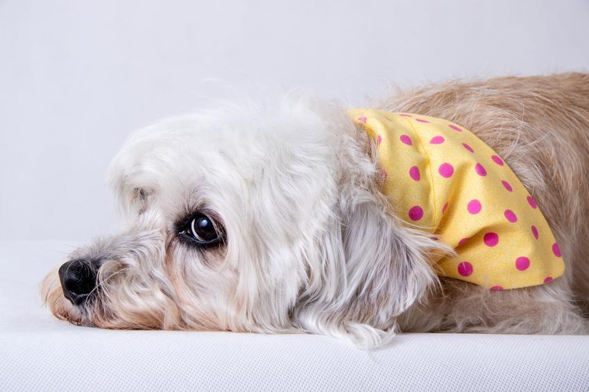 Pies rasy dandie dinmont terrier leżący na białym tle oraz opis i cena rasy
