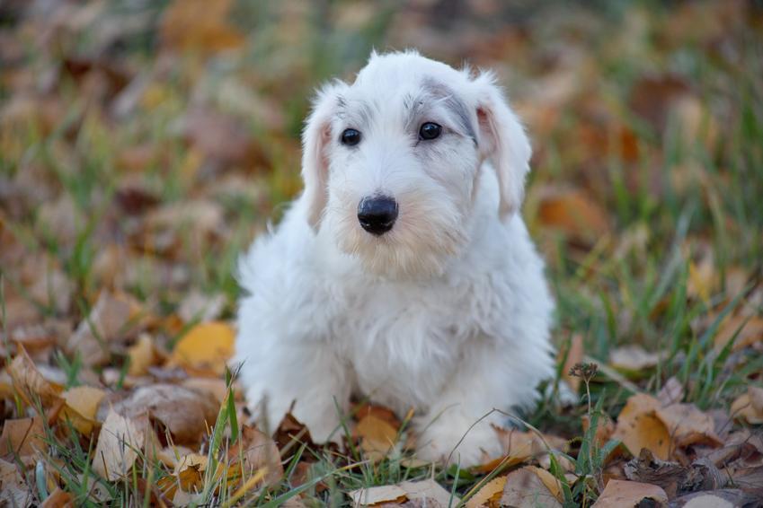 Pies rasy sealyham terrier wśród liści, a także charakter i szczenięta