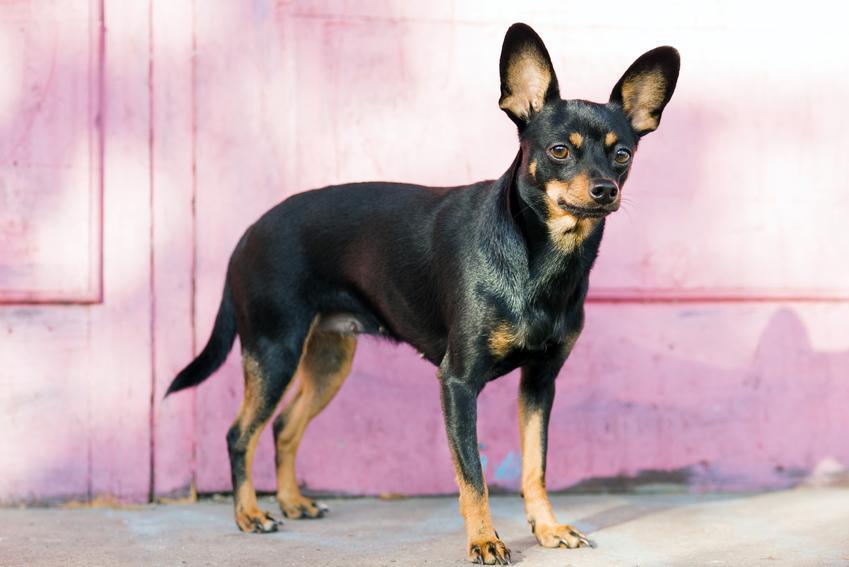 Pies rasy english toy terrier na różowym tle, a także jego charakter i hodowla