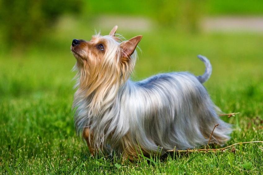 Pies rasy australijski silky terrier na trawie, a także charaker i cena