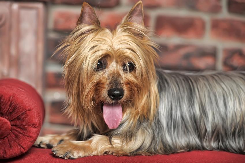 Pies rasy australijski silky terrier leżący na fotelu, a także jego charakter i cena za szczeniaki