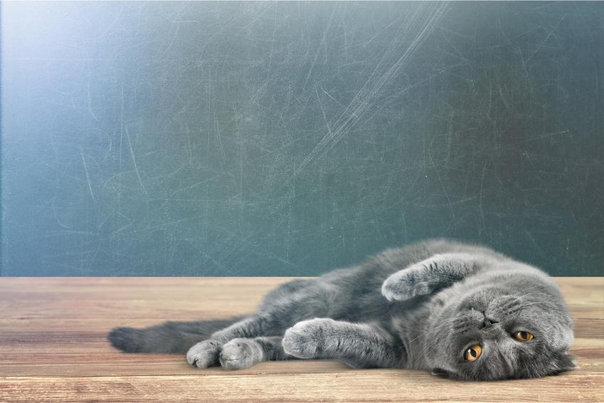 Krótkowłosy kot brytyjski niebieski leżący na podłodze, a także jego usposobienie i zalety