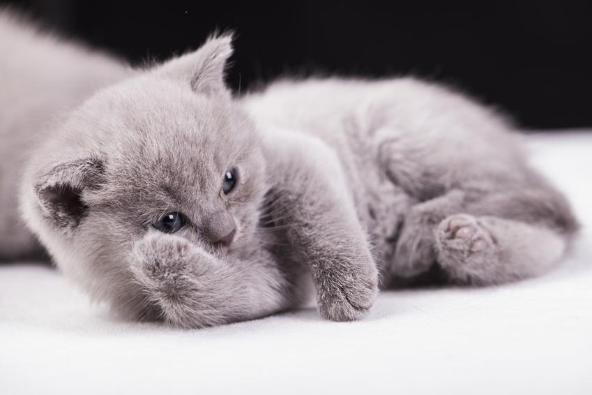 Krótkowłosy kot brytyjski jako mały kociak, a także angielski kot niebieski i opieka nad nim