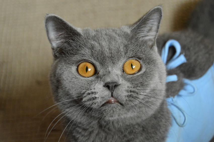 Krótkowłosy kot brytyjski z dużymi oczami, czyli angielski kot niebieski i jego charakter