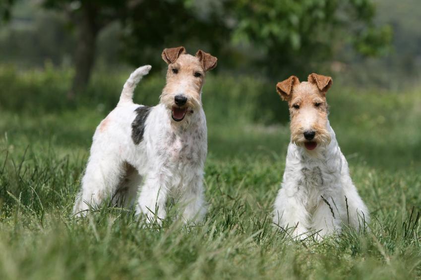 Da psy rasy foksterier szorstkowłosy, a także ich charakter, usposobienie i hodowla