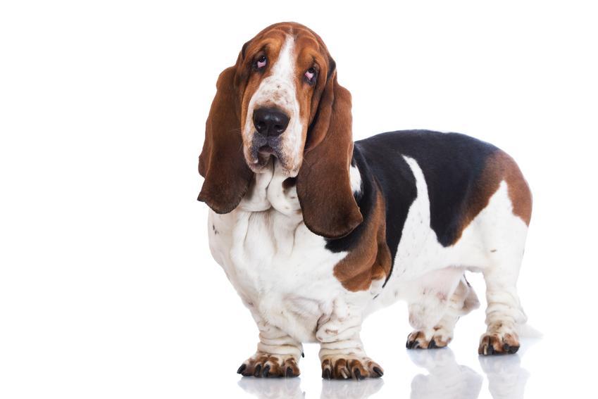 Pies rasy basset hound na białym tle, a także charakter i cena za szczeniaki