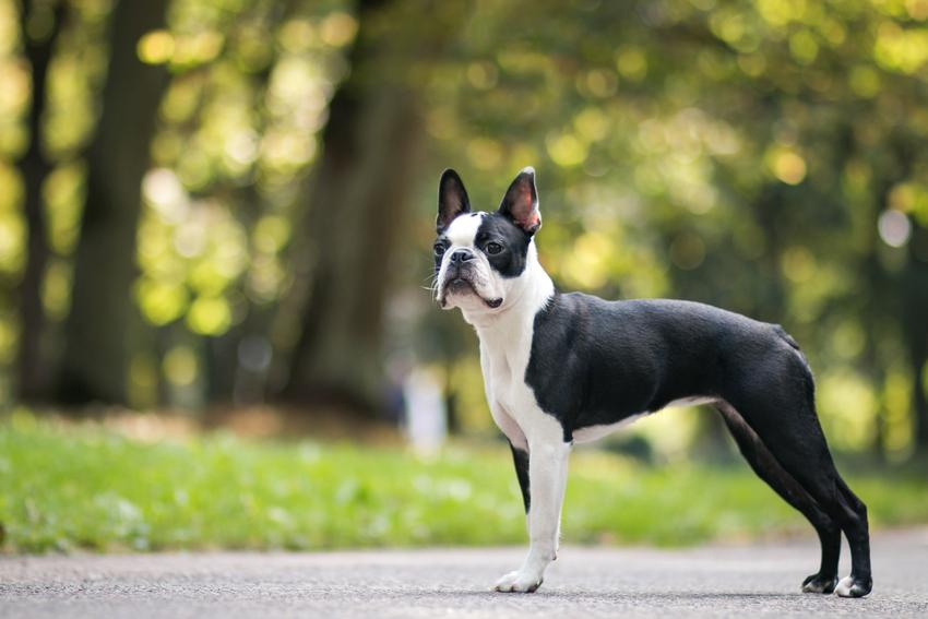 Pies rasy boston terrier podczas spaceru, a także charakter i cena