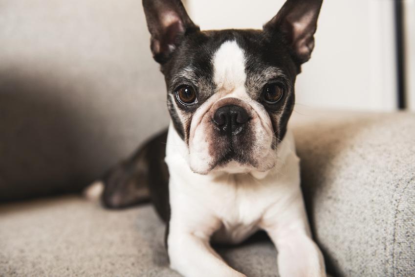 Pies rasy boston terrier w domu leżący na kanapie, a także cena boston terriera