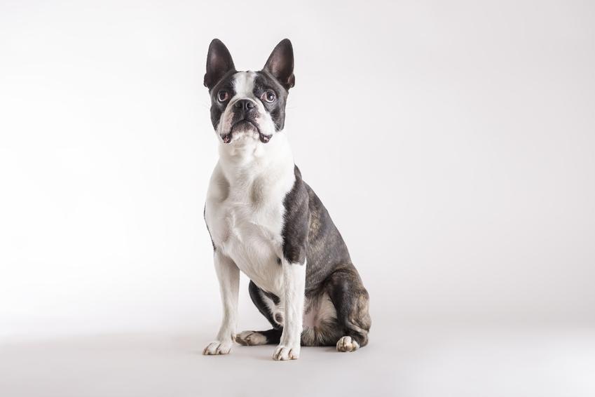 Pies rasy boston terrier na białym tle, a także cena boston terriera za szczeniaki