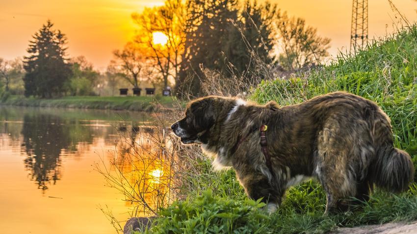 Pies rasy owczarek kaukaski na brzegu wody oraz prawidłowa waga owczarka kaukaskiego