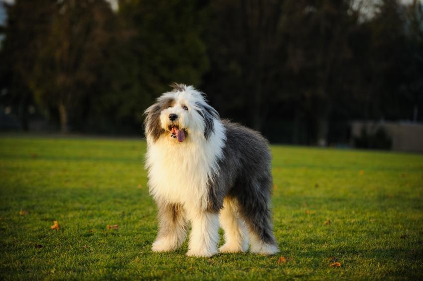 Pies rasy owczarek staroangielski na trawie, a także jego charakter i hodowla