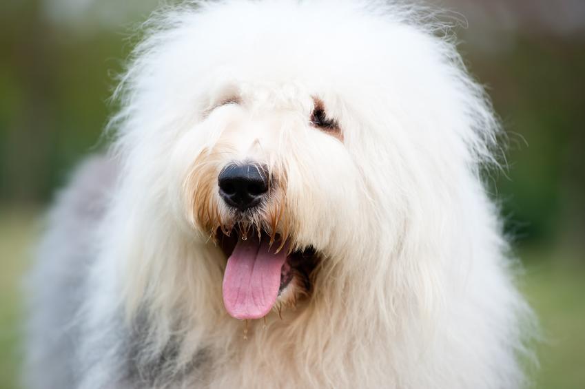 Pies rasy owczarek staroangielski na portrecie, a także jego opis i charakter