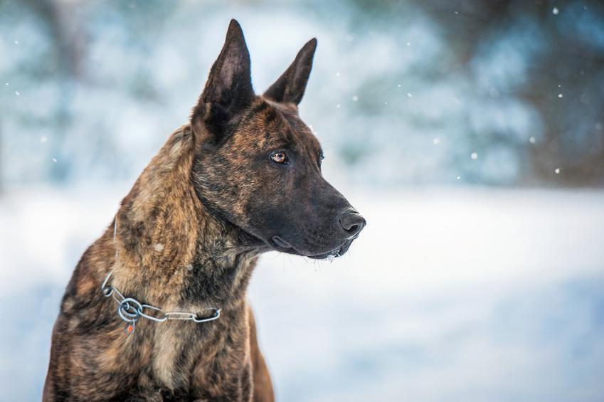 Pies rasy owczarek holenderski na tle śniegu, a także jego charakter i hodowla