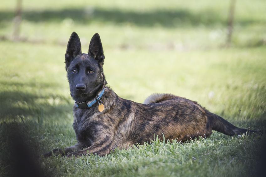 Pies rasy owczarek holenderski leżący na trawie oraz jego opis i cena