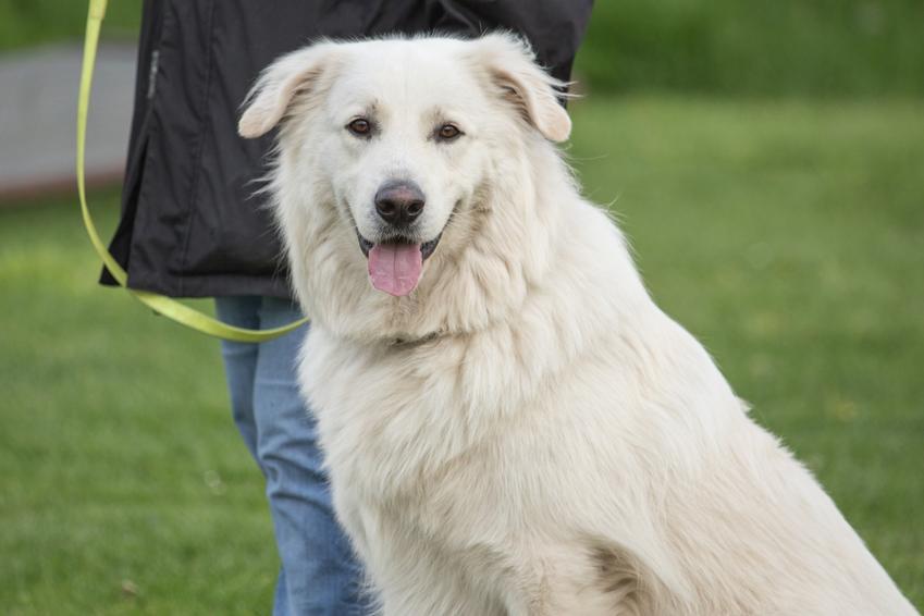 Pies rasy pirenejski pies górski na smyczy, a także owczarek górski i jego charakter