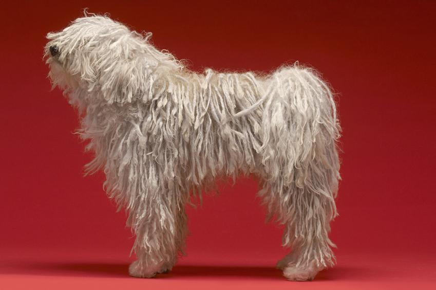 Pies rasy owczarek węgierski na czerwoynym tle oraz komondor i jego charakter