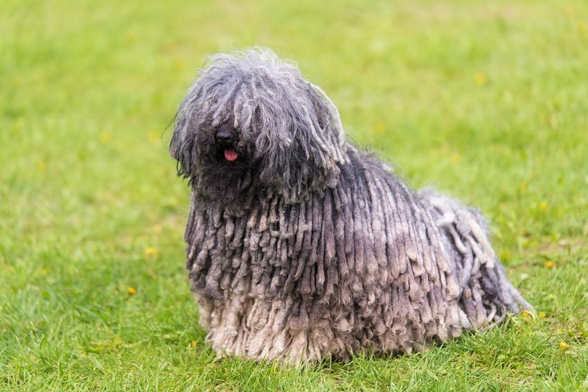 Pies rasy owczarek węgierski na trawniku, a także komondor i jego hodowla
