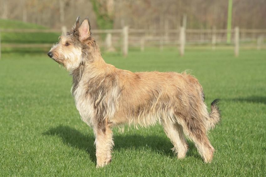 Pies rasy owczarek pikardyjski na trawniku, a także jego charakter i hodowla
