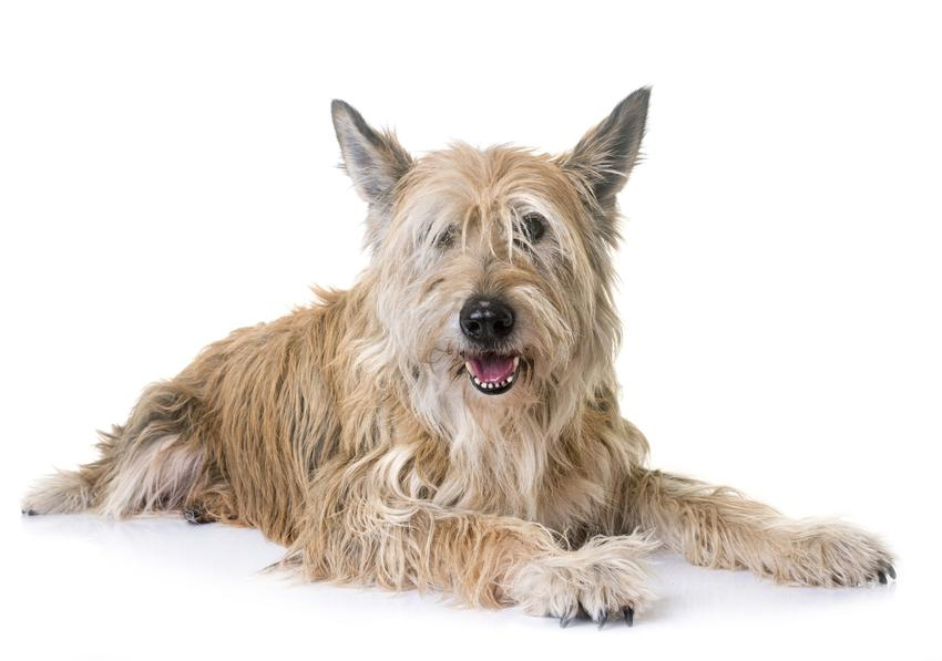 Pies rady owczarek pikardyjski na białym tle oraz jego charakter i cena