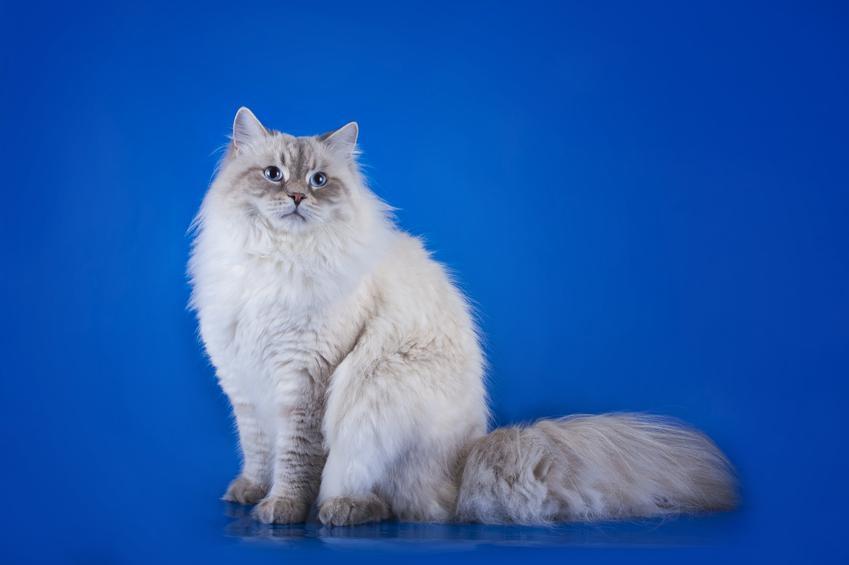 Kot syberyjski na niebieskim tle, a także charakter kotów syberyjskich i ich opis