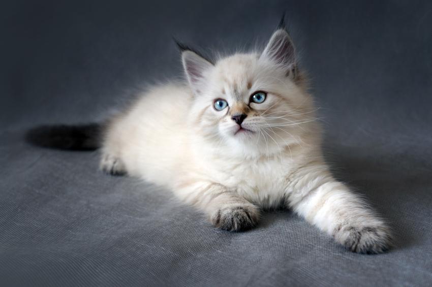 Mały kotek syberyjski, a także opis i charakter kotów syberyjskich