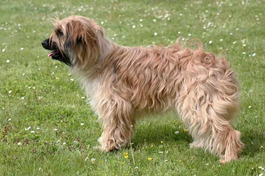 Pies rasy owczarek pirenejski długowłosy lub krótkowłosy na trawniku i jego charakter