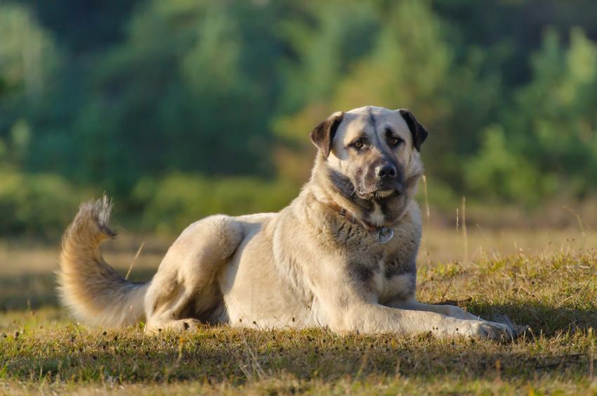 Pies rasy owczarek anatolijski leżący na trawie, a także jego charakter i hodowla