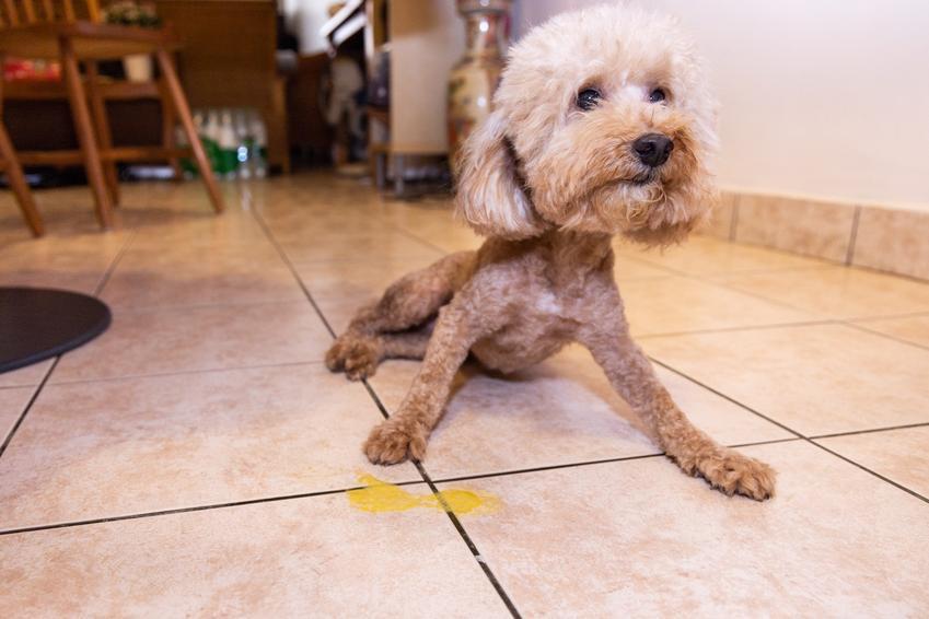 Pies obok plamy wymiocin, a także, co oznacza kiedy pies wymiotuje żółcią