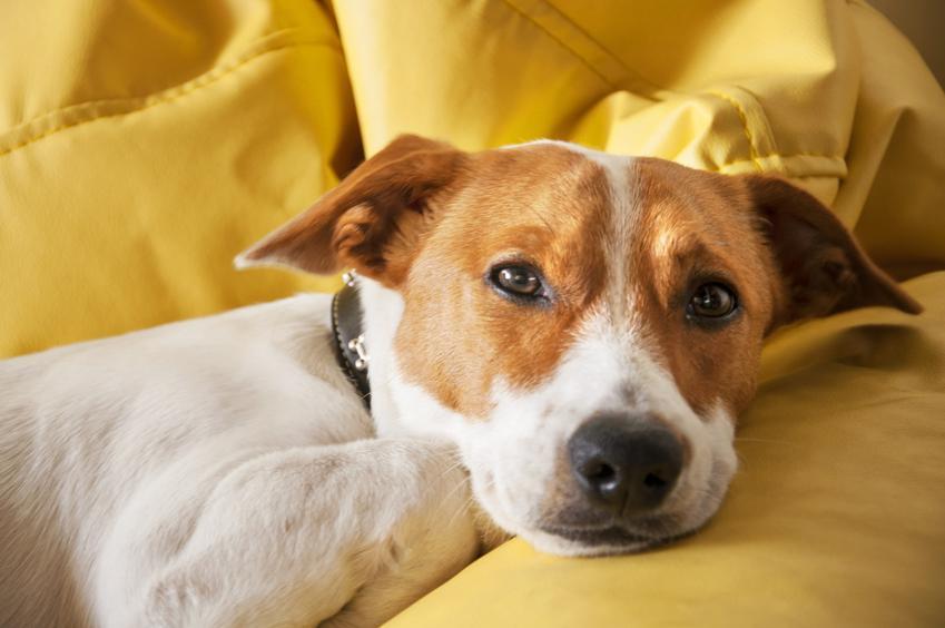 Pies ze smutną miną na sofie, a także informacje, co oznacza, kiedy pies wymiotuje żółcią