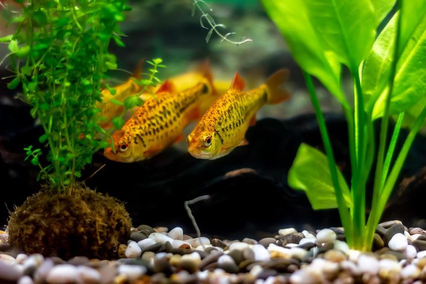 Dwie ryby akwariowe gatunku brzanka brokatowa, barbus schuberti w akwarium, a także ich hodowla