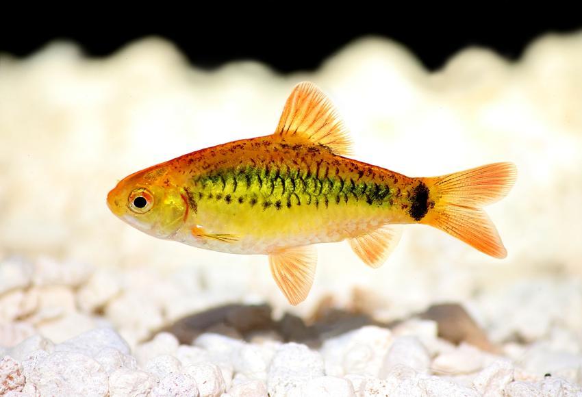Ryba akwariowa brzanka brokatowa, barbus schuberti na tle kamyczków, a także jej wymagania