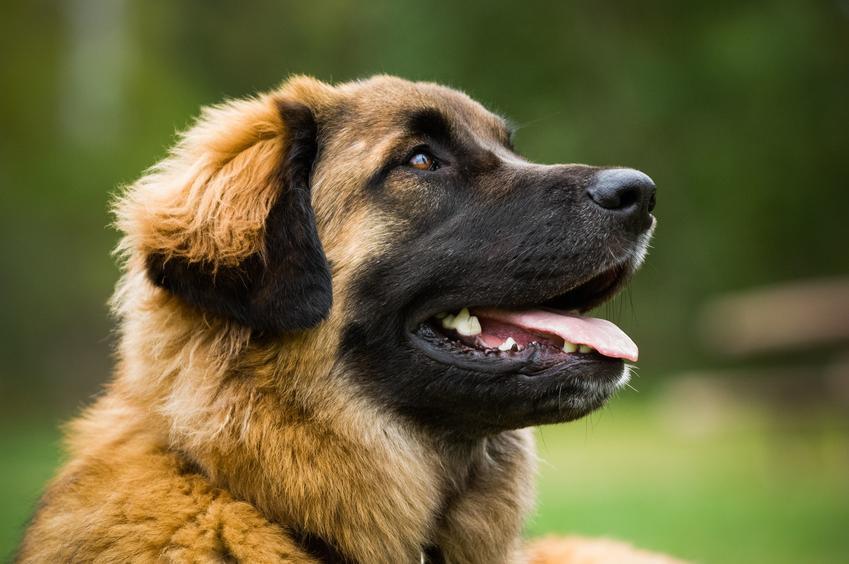 Pies rasy leonberger na tle zieleni, a także jego charakter i hodowla w Polsce