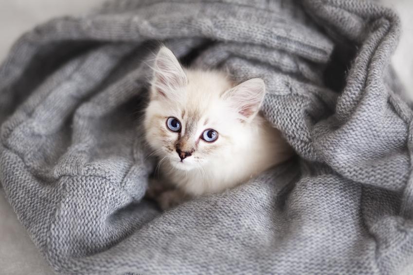 Mały kotek syberyjski zawinięty w koc, a także wady kota syberyjskiego