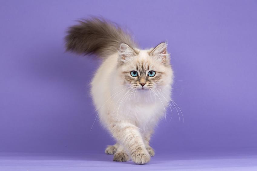 Kot syberyjski na fioletowym tle, a także najważniejsze wady kota syberyjskiego