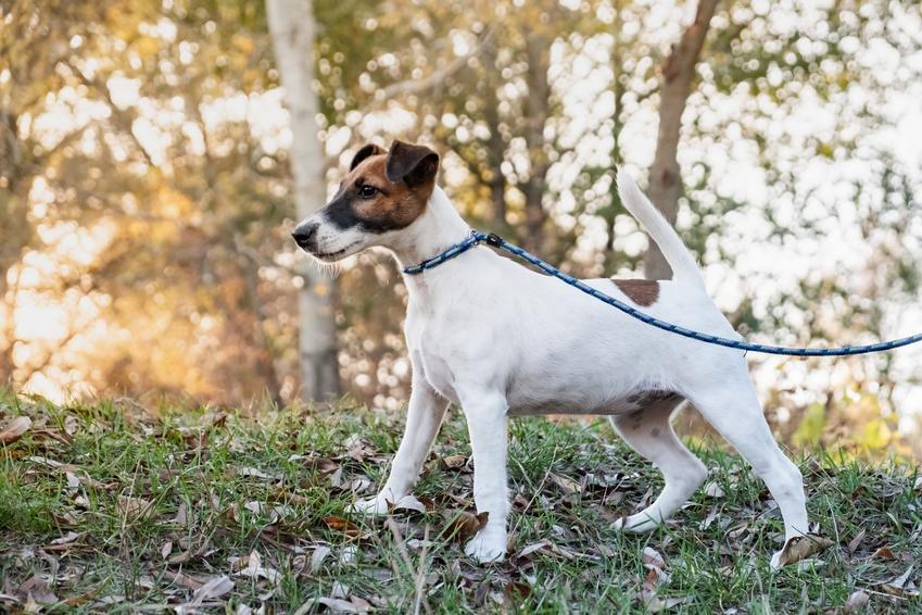 Pies rasy foksterier krótkowłosy lub gładkowłosy na smyczy, a także jego charakter i cena