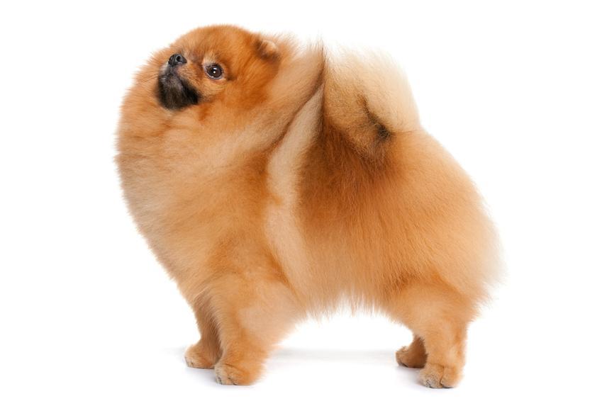 Pies rasy szpic miniaturowy lub pies pomeranian na białym tle oraz jego charakter i cena