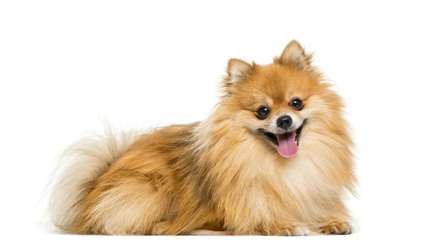 Pies rasy szpic miniaturowy pomeranian na białym tle oraz jego charakter i hodowla