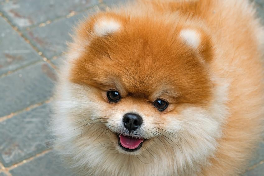 Pies rasy szpic miniaturowy pomeranian podczas spaceru, a także jego charakter i cena