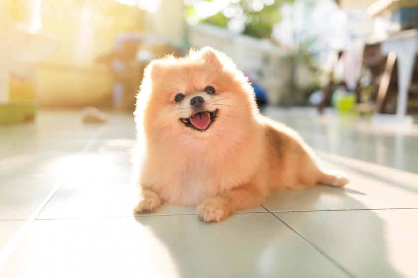 Pies rasy szpic miniaturowy pies boo na słońcu, a także jego charakter i hodowla