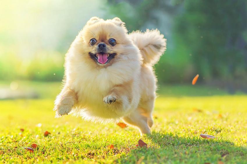 Pies rasy szpic miniaturowy boo pomeranian biegnący po trawniku, a także jego hodowla i cena