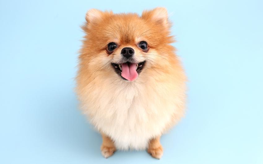 Pies rasy szpic miniaturowy boo pomeranian na niebieskim tle oraz jego charakter i cena