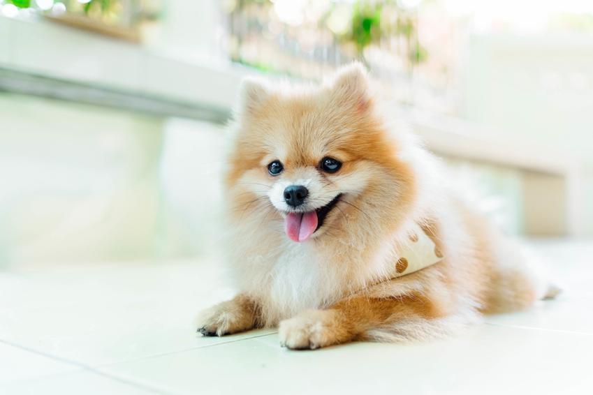 Pies rasy pomeranian leżący na podłodze, a także cena psa Boo i ile kosztuje pies boo