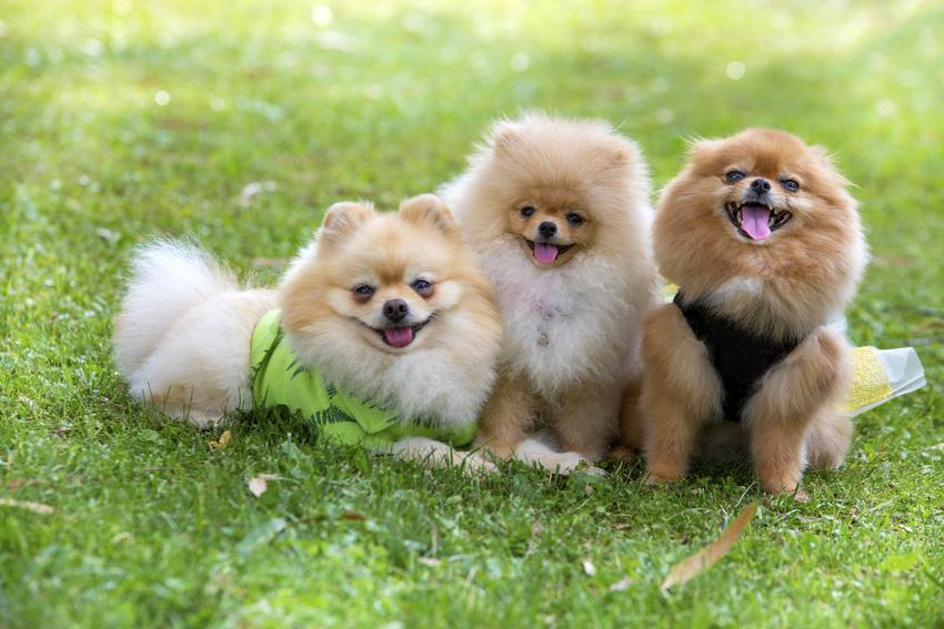 Szczeniaki pomeranian na trawniku, a także cena psa Boo i ile kosztuje pies boo