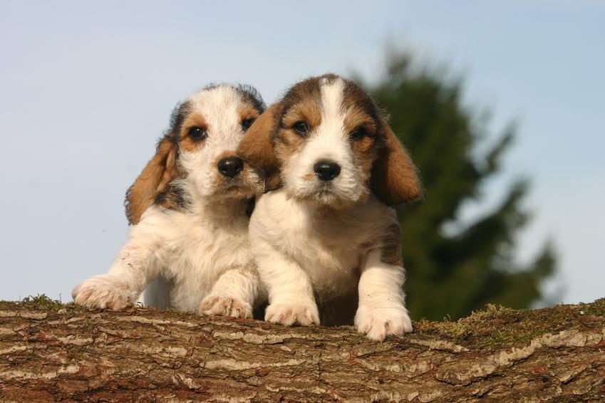 Szczeniaki psa rasy Petit Basset Griffon Vendéen, a także opis i charakter