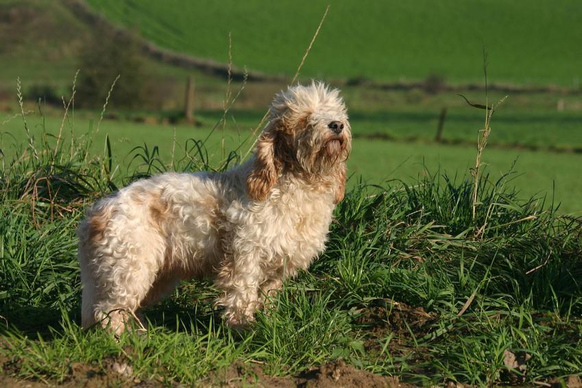 Pies rasy Petit Basset Griffon Vendéen na tle zieleni oraz jego charakter i hodowla