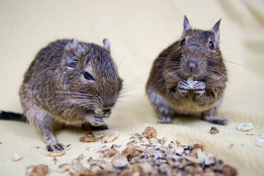 Dwie koszatniczki podczas karmienia, a także hodowla i informacje, ile żyją koszatniczki