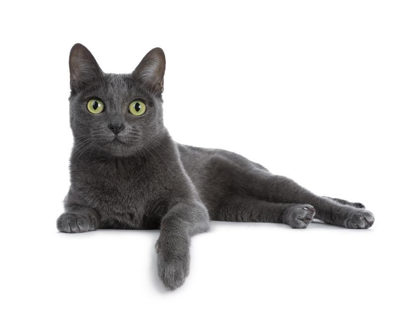 Kot rasy Korat na białym tle, a także jego charakter, cena i hodowla