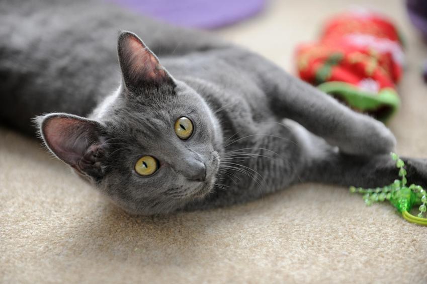 Kot rasy Korat z zabawkami na podłodze, a także jego charakter, cena i hodowla