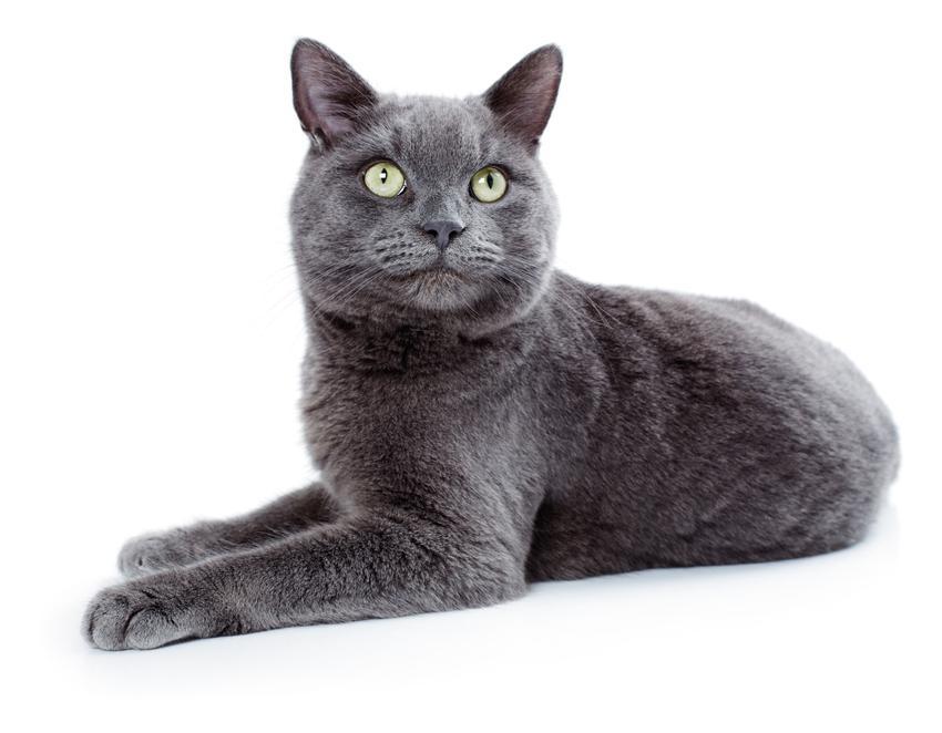 Kot rasy korat na białym tle, a także ile kosztuje korat i cena korata